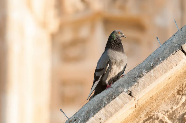 piege-pigeon-nuisibles-gien-solupest